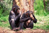 Šimpanzi jsou společenská zvířata