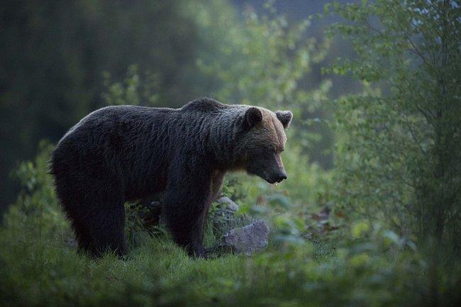 Kategorie Příroda v akci: 6.-10. místo – Iva Růžičková – Medvěd na poslední chvíli