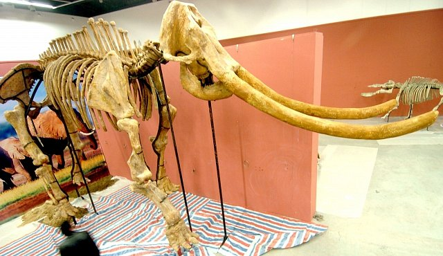 Mamut ožije během čtyř let