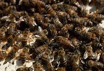 Včely (Afrika)