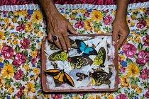 Lovec motýlů na indonéském ostrově Bacan třídí své úlovky, které bude prodávat na Bali. Odtamtud budou motýli putovat přes Asii ke sběratelům na celém světě.