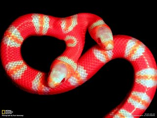 Dvouhlavý had