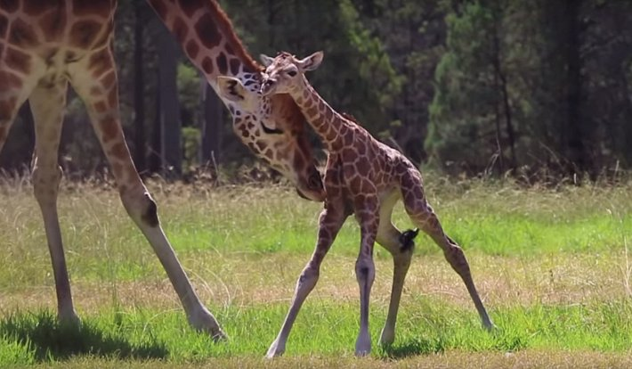 Přestože žirafy v divočině rodí zpravidla v ranních hodinách, Asmara si počkala na brzké odpoledne.