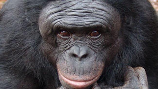 VIDEO: Šimpanz se naučil rozdělat oheň. A vyrábí si vlastní nástroje
