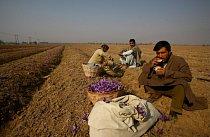 Vesničané pijí čaj o přestávce po sběru šafránu.