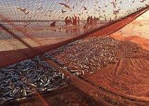 O sardinky má zájem nejen místní trh, ale i zahraničí, protože se můžou prodávat čerstvé, mražené i konzervované.