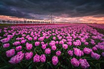 Lány rozkvetlých tulipánů sklízejí stroje podobné kombajnům, květiny seřežou a ty putují rovnou na květinovou burzu.