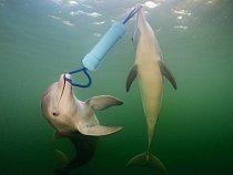 Delfíni jsou nesmírně zdatní při řešení problémů. Tito dva delfíni skákaví nedaleko souostroví Florida Keys rychle přišli na to, že trubici zPVC plnou ryb otevřou jedině tehdy, budou-li spolupracovat.