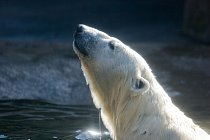 Emerging Polar Bear