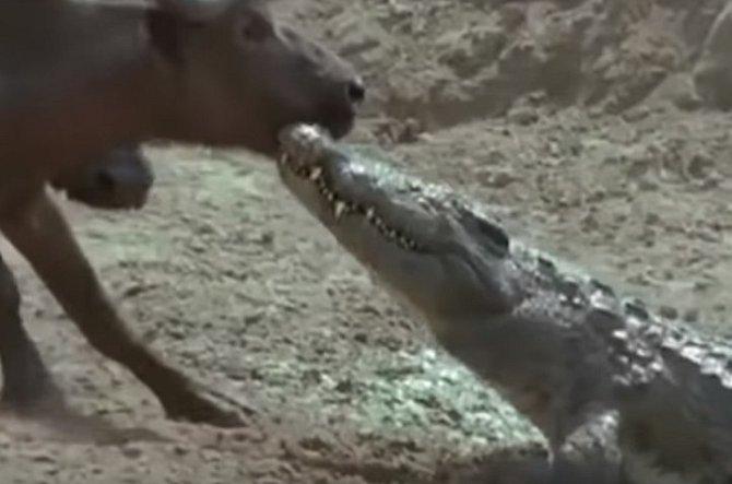 Krokodýl útočí na buvola.