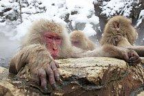 Tlupy makaků mohou čítat až několik stovek jedinců.