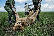 """Mladý samec byl jedním ze tří uhynulých lvů ze slavné keňské smečky Marsh Pride. V roce 2015 sežrali maso z kravské zdechliny, již masajští pastevci """"ochutili"""" insekticidem karbosulfanem poté, co jim lvi usmrtili několik krav."""