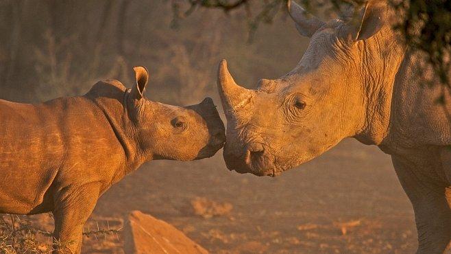 Bezpilotní letouny hlídají nosorožce v Keni. Pomůžou je konečně zachránit?