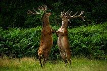 Sleduješ mě? Stojící jeleni v Richmondském parku ve Spojeném království.