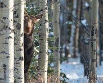 Mistryně maskování: losice rafinovaně vykukuje zpoza stromu v kanadské provincii Alberta.