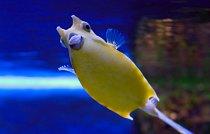 Rohatá ryba