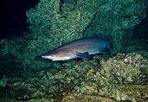 Las Gemalas, Kostarika: Žralok ostnatý