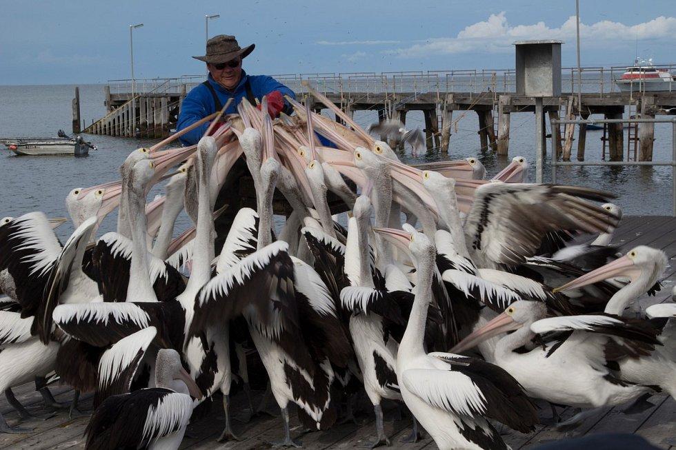 Více než 50 hladových pelikánů se konečně dočkalo. Ptáci už netrpělivě vyhlíželi muže, který jim v australském městě Kingscote přinesl bednu plnou ryb.