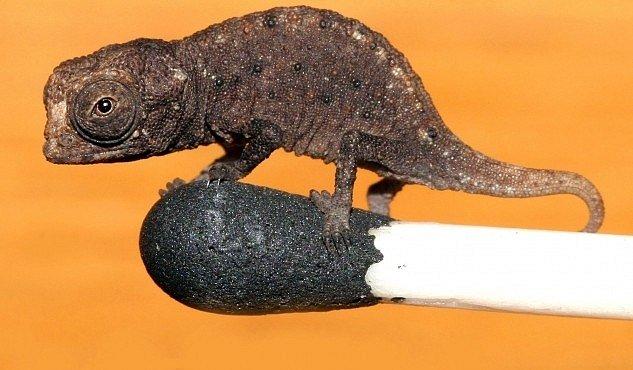 Nejmenší chameleon na světě se může procházet po špičce zápalky