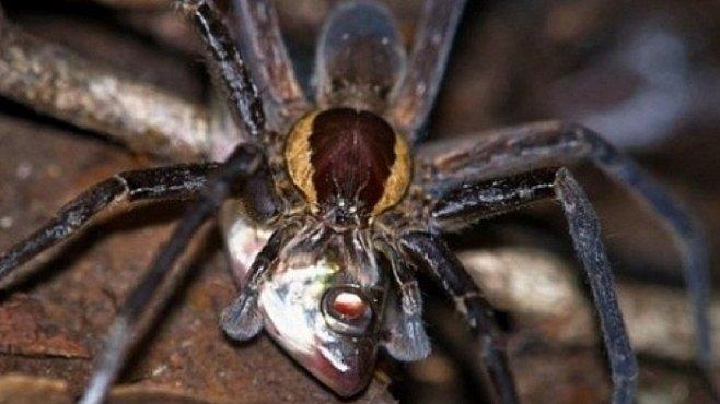 Pavouci dokáží lovit ryby jedovatým útokem ze zálohy