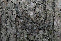 Můra (Epimecis hortaria) je od kůry stromu k nerozeznání