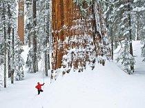 Sekvojovec obrovský je sněhomilný strom, adaptovaný na dlouhé zimy v Sierra Mountains. Je ale také ohňomilný. Silná kůra ho chrání před požáry, které otevírají šišky a likvidují vegetaci na zemi, čímž