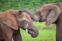 Afričtí sloni v Jižní Africe se potkali u přehrady Hapoor.