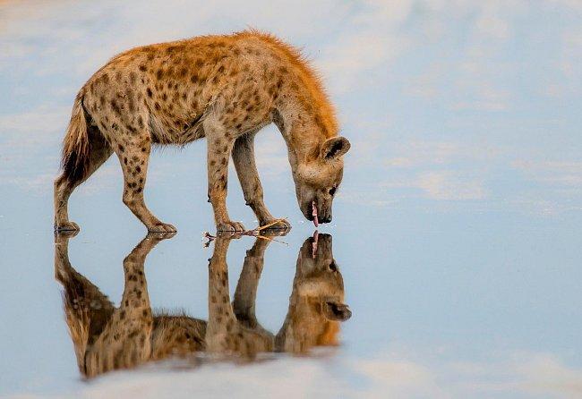 """Krugerův národní park je největší v JAR. Domov zde našlo i velké množství velkých šelem, mezi nimi tato hyena, která se při osvěžení, """"potkává"""" se svým odrazem."""