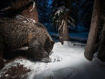 Fotopast poblíž Yellowstonského národního parku zachytila medvěda grizzly při loupeži semen borovice bělokmenné ze skrýše veverky. Semena jsou pro tento ohrožený druh důležitou potravou.