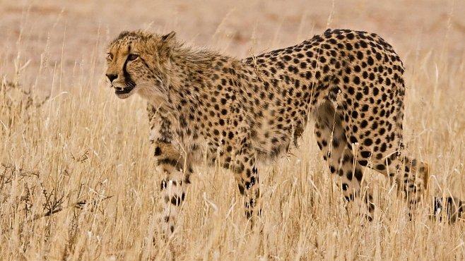 VIDEO: Gepard sprinter, jak jste ho nikdy neviděli. Zpomalené záběry nejrychlejšího běžce planety