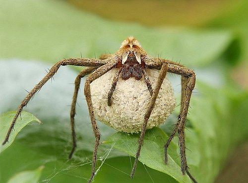 Pavouci platí za sex. Ti, co nabídnou víc, se smí pářit déle