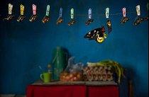 V kuchyni turistického domu v Západní Papui v Indonésii se líhne obrovský ptakokřídlec. Čerstvě vylíhnutí motýli bývají usmrceni velmi záhy, dokud mají nepoškozená křídla. Legální i ilegální obchod se vzácnými motýli je rozšířen na celém světě.