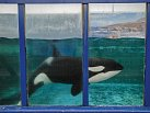 Samici kosatky ulovili uholandského pobřeží, ale převezli ji doŠpanělska, protože úředníci se obávali, že by návrat domoře nepřežila. Kosatky jsou největším druhem zčeledi delfínovitých.