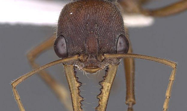 Mravenci ve 3D: Vědec chce mít detailní fotky všech mravenců světa