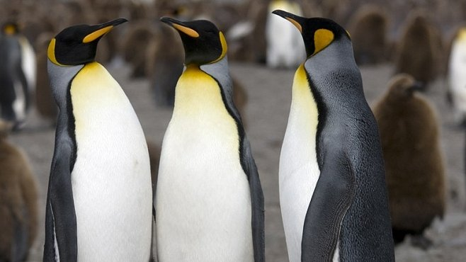 Jediní tučňáci na severní polokouli žili na Lofotech. Příběh jednoho lidského experimentu