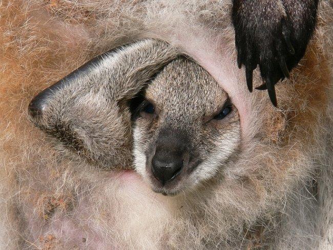 Mláďata klokana při narození měří jen několik centimetrů.
