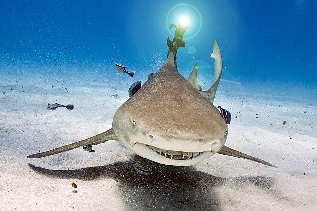 Žralok citronový má S3 laser upevněný na ploutvi (Bahamy, 24. dubna 2012)