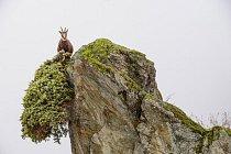 Na jaře se rodí vysoko se pasoucí kamzíci – dnes jich žije vparku Gran Paradiso kolem 8000.
