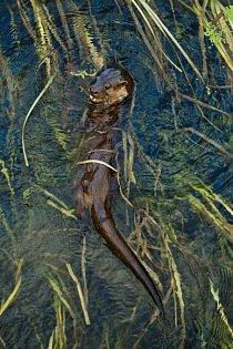 Mladý samec se s rozšířenými nozdrami vynořuje nad hladinu poté, co lovil v mělčinách řeky v Dorsetu zarostlých rákosím vranky.
