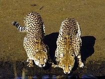 Gepard je stvořen k úspěchu - až 70 % jeho loveckých pokusů končí úspěchem.