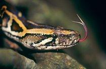 Tato krajta patří mezi největší hady, ale jed u ní nehledejte. Patří ke škrtičům.