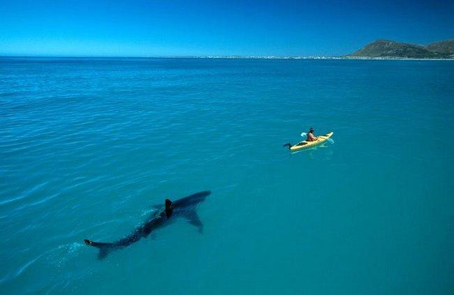 """Fotograf Tom Peschak až na posledním snímku svého filmu zachytil fotografii, na kterou celou dobu čekal: velký bílá masa za kajakem vědce Treye Snowa. """"Místo toho, aby vědec sledoval žraloka, sledoval žraloka vědce,"""" říká Peschak."""