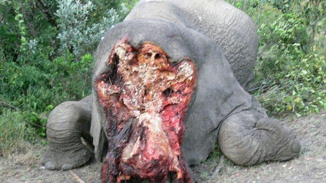 Genocida slonů: pytláci zahubí více kusů, než se jich narodí