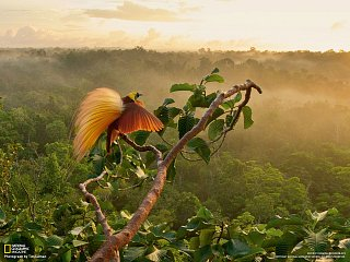 Rajští ptáci (rajka větší)