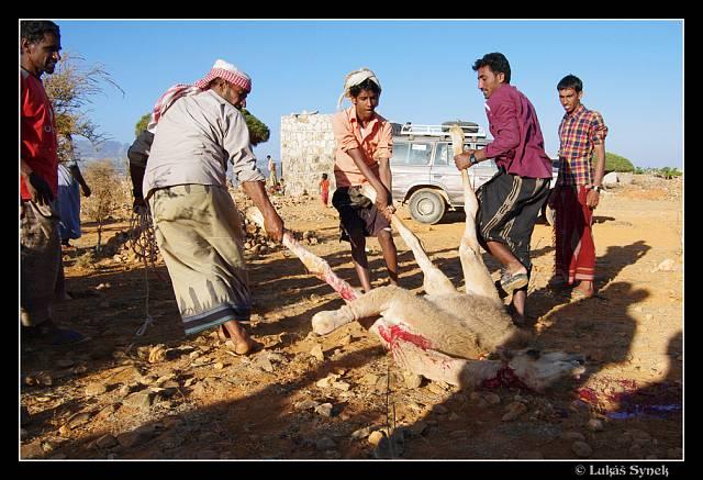 Muži naporcovali velblouda během několika minut.