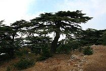 Cedr jr libanonským národním stromem.