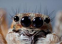 Skákavý pavouk, Francie