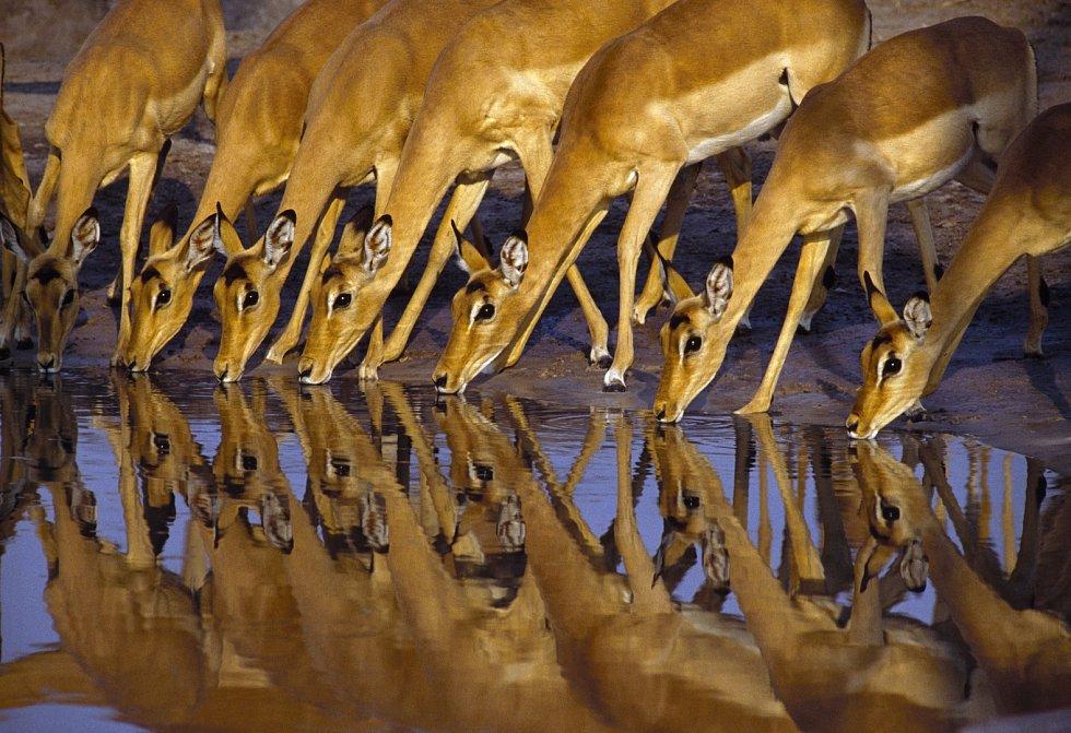 Antilopy pijí