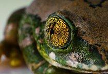 Dospělé žáby mají tři dobře vyvinutá oční víčka.