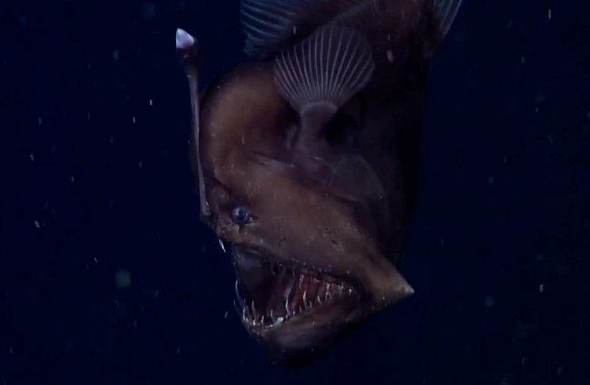 Mořský ďas, kterého se poprvé podařilo zachytit v hlubinách Pacifiku, 600 metrů pod hladinou.